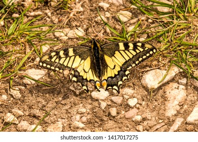 swallowtail butterfly in spring in Germany