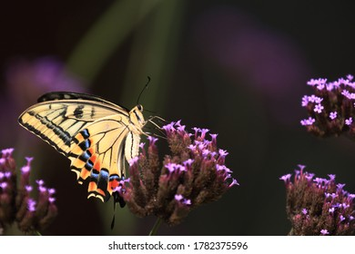 Swallowtail butterfly sucking nectar on a purple small flower