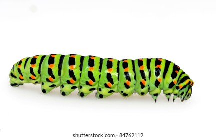 Swallowtail caterpillar in front of a white background