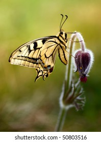 Swallowtail on a flower