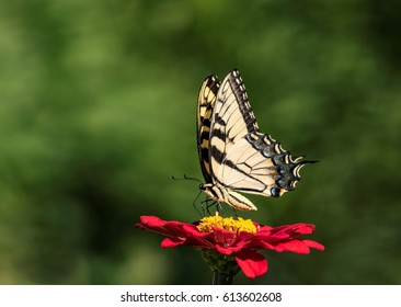 Swallowtail on a Red Flower
