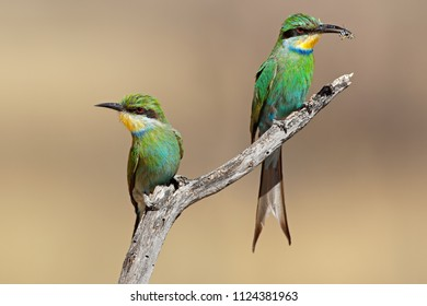 Swallow-tailed bee-eaters (Merops hirundineus) perched on a branch, South Africa