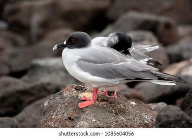 Swallow-tailed Gull (Creagrus furcatus) in Galapagos Islands, Ecuador