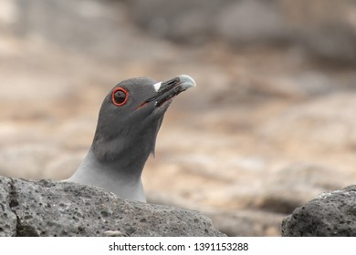 Swallow-tailed Gull - Now I see You