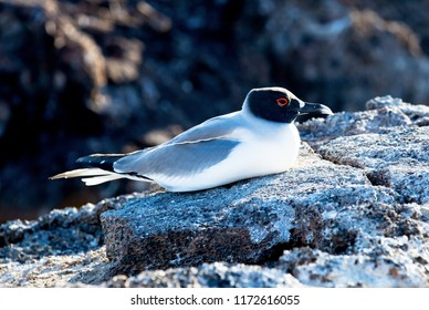 Swallow-tailed gull on Floreana Island in the Galapagos Islands