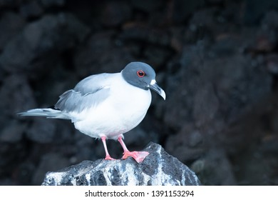 Swallow-tailed Gull - On Lava Rock