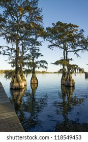 Swamp (bald), cypress (Taxodium distichum) in the lake and hanging from a Spanish moss