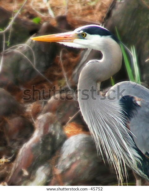 swamp bird egret