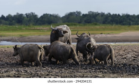Swamp Buffaloes on a mud