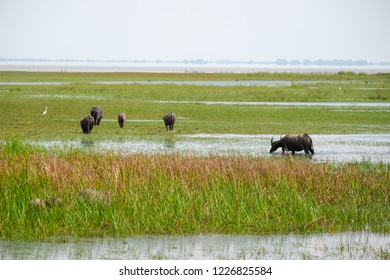 Swamp bufffalo in Thale Noi Waterfowl park. A buffalo that the villagers raised by letting go naturally.