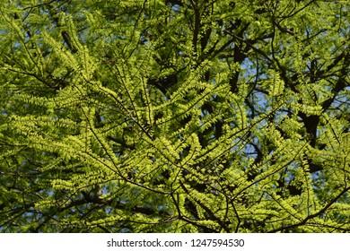 Swamp cypress - Latin name - Taxodium distichum
