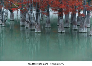 Swamp cypress trees on Sukko lake in autumn. Russia, Krasnodar region.