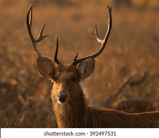 Swamp deer in national park, India