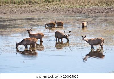 swamp deer standing in the lake drinking water - national park ranthambore in india - rajasthan