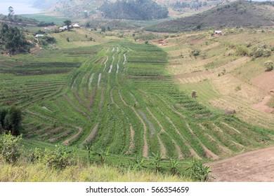 swamp farming in the southwestern Uganda,Africa.
