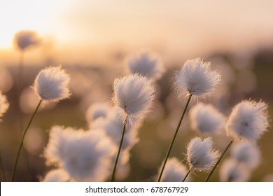 Swamp flowers and early morning