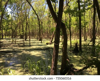 Swamp forest texas