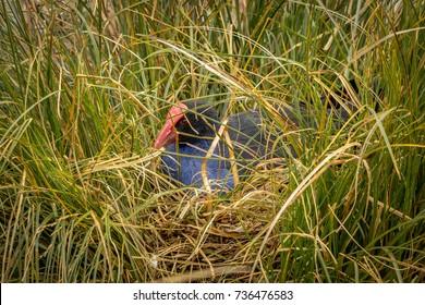 "Swamp Hen ""Pukeko"" Nesting, New Zealand Waikanai Bird Reserve"