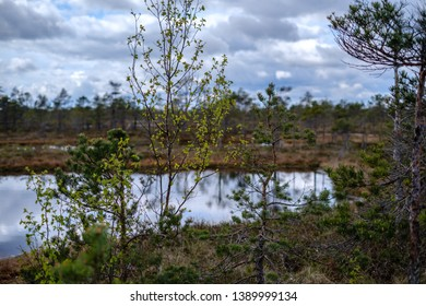 swamp lakes with reflections of blue sky and clouds in National Nature Park Kemeri in Latvia. sunny spring day with pine trees and birch trees