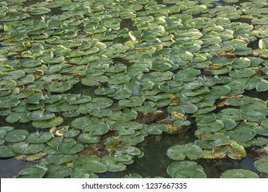 Swamp Lilly Pad