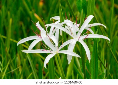 Swamp lily (Crinum americanum) flower closeup - Topeekeegee Yugnee (TY) Park, Hollywood, Florida, USA