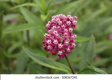 """Swamp Milkweed"" flowers (or Rose Milkweed, Rose Milkflower, Swamp Silkweed, White Indian Hemp) in Ulm, Germany. Its Latin name is Asclepias Incarnata, native to North America."