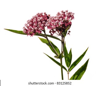 Swamp Milkweed Wildflower (Asclepias  incarnata) Isolated on White