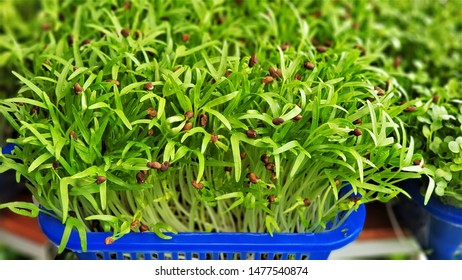 The Swamp Morning Glory (Chinese Water Spinach) sprouts are growing on plastic basket. The microgreens are a live food, which makes many nutrients more available for digestion and assimilation.