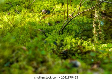 Swamp and moss in Finnish forest during Summer time