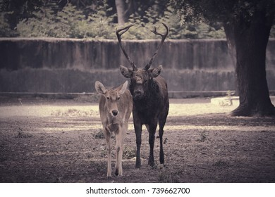 Swamp & Musk deer
