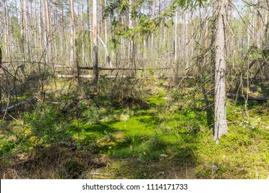 "The swamp in the national reserve ""Belovezhskaya Pushcha"", Belarus"