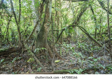 Swamp rainforest or Varzea forest near the edge of an Amazonian river, the Rio Shiripuno,  in Ecuador. A liana forms an arch.