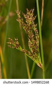 Swamp Sawgrass (Cladium mariscus) Flowering