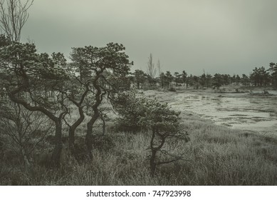 Swamp with small pine trees covered in early morning frost. Kemeri national park at sunrise, Latvia. Vintage, retro look.