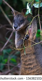 Swamp wallaby in Australian bush standing and eating leaves