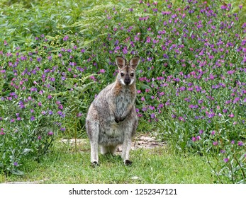 A Swamp Wallaby also called a (Black Wallaby) up close surrounded by colourful purple  Patersons Curse weed ,  Newnes,  New South Wales,  Australia