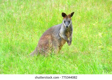Swamp wallaby on the green grass