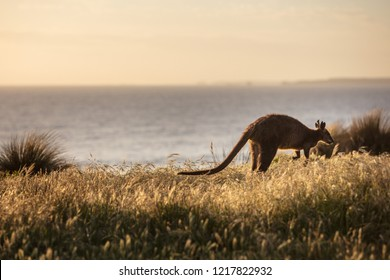 A Swamp Wallaby (Wallabia bicolor) feeding at sunset at Cape Woolamai, Phillip Island, Victoria, Australia