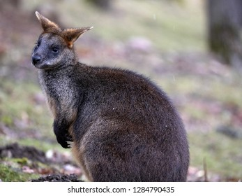 Swamp Wallaby, Wallabia bicolor, is one of the smaller kangaroos