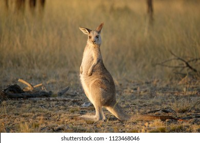 The swamp wallaby (Wallabia bicolor) is a small macropod marsupial of eastern Australia.This  is also commonly known as the black with other names including black-tailed. Camberra, Mulligans nature