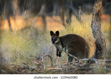 Swamp Wallaby - Wallabia bicolor small macropod marsupial of eastern Australia. Known as the black wallaby, black-tailed wallaby, fern wallaby, black pademelon, stinker and black stinker.