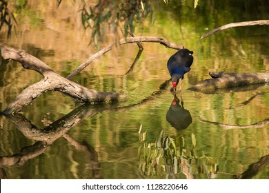 Swamphen with reflection