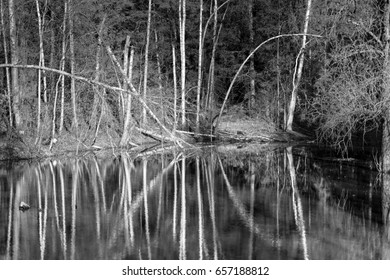 Swamps in spring. Cool dark lake in primeval forest. Cold melancholic landscape with water vapour. Foggy mystery and mystic wetland with trees. Enigmatic mysterious dark swamp. black and white