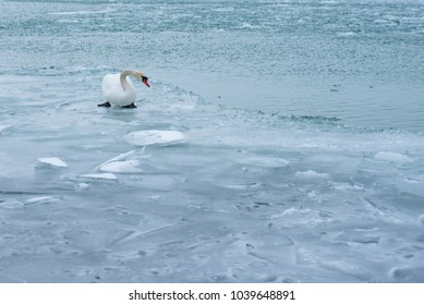 Swan in the abandoned frozen lake Balaton. Extreme weather in Hungary in March 2018.