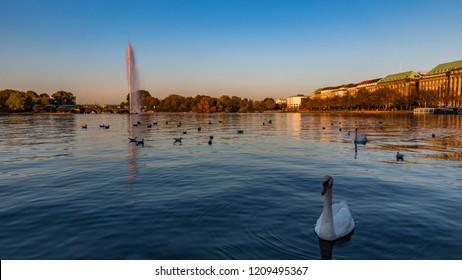 swan in the alster in hamburg