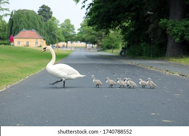 Swan and its babies crossing the road
