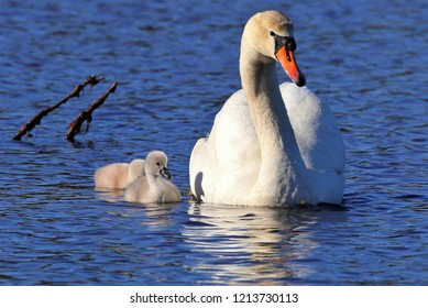 Swan with baby Cygnets swimming on the pond