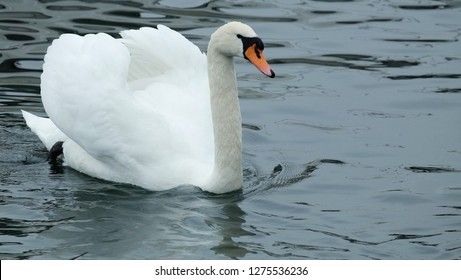 Swan background / Mute Swans are very large waterfowl. They have heavy bodies, short legs, and a long, slender neck habitually held in a graceful S.