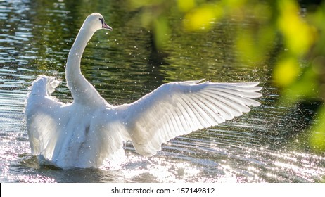 Swan bathing in glistening water spraying water droplets. Image taken during a sunny autumn day in a Copenhagen lake, Wings spread out