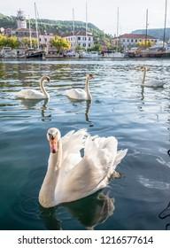 Swan in the bay of the coastal town of Skradin, Croatia